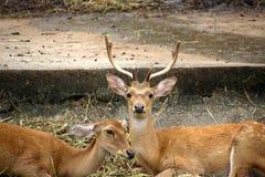 Cerfs communs et daine Photo libre de droits