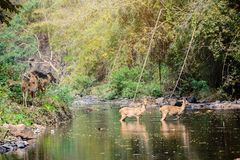 Cerfs communs et hinds marchant par l'eau à la forêt Images stock