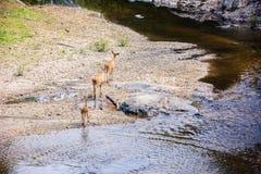 Cerfs communs et hinds marchant par l'eau à la forêt Image stock