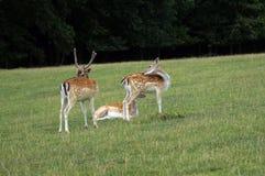 Cerfs communs et jeunes cerfs communs dans le pré image libre de droits