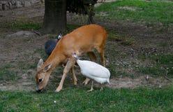 cerfs communs et poulets colorés image stock