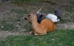 cerfs communs et poulets colorés photo libre de droits