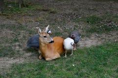 cerfs communs et poulets colorés images libres de droits