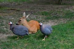 cerfs communs et poulets colorés images stock