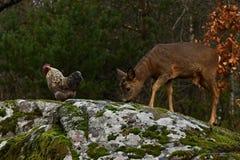 Cerfs communs et poulets d'oeufs de poisson sauvages ensemble en harmonie photos stock