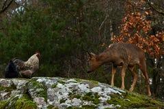 Cerfs communs et poulets d'oeufs de poisson sauvages ensemble en harmonie images stock