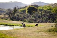 Cerfs communs et renard près de l'un l'autre Photos stock