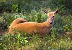 Cerfs communs extérieurs d'arrière blanc de faune s'étendant dans le domaine Photographie stock