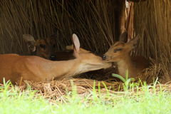 Cerfs communs faisant l'amour Photographie stock