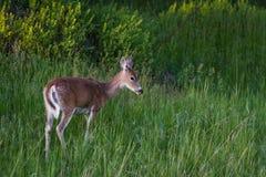 Cerfs communs femelles Images libres de droits
