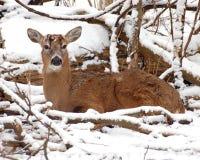 Cerfs communs femelles dans la neige Images stock