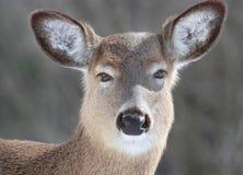 Beaux cerfs communs Images libres de droits