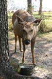 Cerfs communs femelles sauvages prenant le déjeuner Image libre de droits