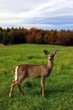 Cerfs communs femelles un jour d'automne Image stock