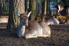 Cerfs communs, forêt, clôture images stock