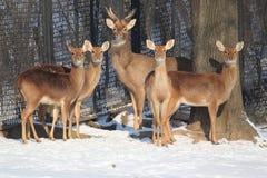 cerfs communs Front-antlered photos stock