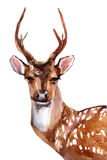 Cerfs communs - Front View Photos stock