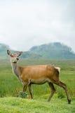 Cerfs communs gratuits avec les montagnes des montagnes en Ecosse comme fond Photos libres de droits