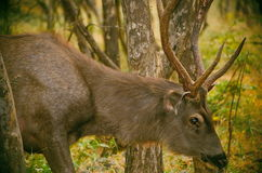 Cerfs communs indiens Photo stock