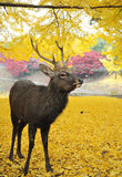 Cerfs communs japonais saints pendant l'automne Photo stock