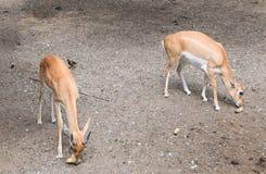 Cerfs communs jumeaux Photo libre de droits