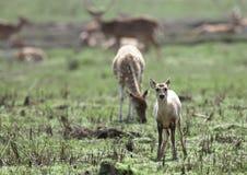 Cerfs communs juvéniles dans la prairie de Jim Corbett Image stock