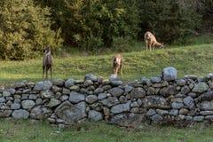 Cerfs communs ? l'entr?e principale au parc national d'Ordesa y Monteperdido ? Huesca, Aragon, Espagne image stock