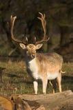 Cerfs communs mâles Images stock