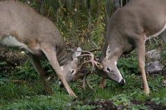 Cerfs communs mâles d'arrière blanc Images libres de droits