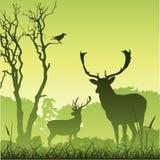 Cerfs communs mâles de mâle Photo stock