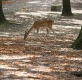 Cerfs communs magiques Photo stock