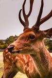 Cerfs communs magnifiques dans la position sauvage avec fierté photographie stock