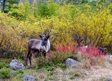 Cerfs communs majestueux Photographie stock