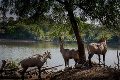 3 cerfs communs mangeaient des feuilles dans le safari photographie stock libre de droits