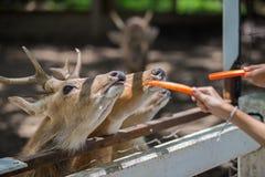 Cerfs communs mangeant de la nourriture Image stock