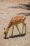 Cerfs communs mangeant de la nourriture Photo libre de droits