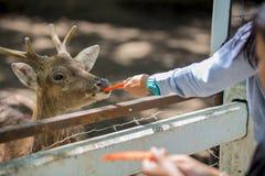 Cerfs communs mangeant de la nourriture Photographie stock