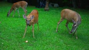 Cerfs communs mangeant des pommes dans l'arrière-cour banque de vidéos