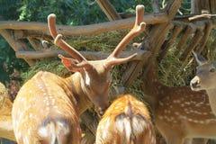 Cerfs communs mangeant en parc Images stock