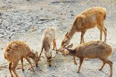 Cerfs communs mangeant l'herbe dans la forêt Images libres de droits