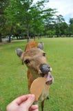 Cerfs communs mangeant un biscuit photo libre de droits