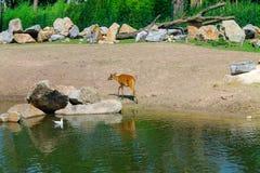 Cerfs communs marchant en parc à la rivière photographie stock libre de droits