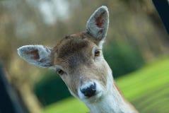 Cerfs communs mignons photographie stock libre de droits