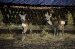 Cerfs communs mignons Photo stock
