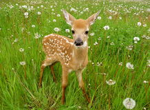 Cerfs communs mignons de chéri Photographie stock