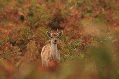 Cerfs communs mignons de chéri image stock