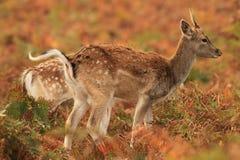 Cerfs communs mignons de chéri photographie stock libre de droits