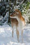 Cerfs communs mignons en hiver photos stock