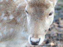 Cerfs communs mignons photos stock