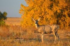 Cerfs communs minces avec Autumn Leaves au coucher du soleil Photographie stock libre de droits